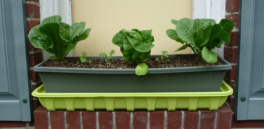 DIY Self-Watering Window Box Planter With Lettuce