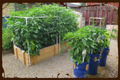 SIP Raised Bed and Bucket Systems