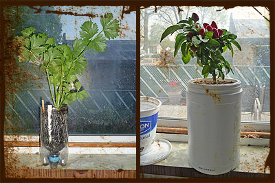 Soda bottle SIP vs Albo-stein sub-irrigated self-watering planters