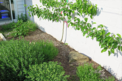 Asian Pear Espalier Fruit Tree Herb Bed