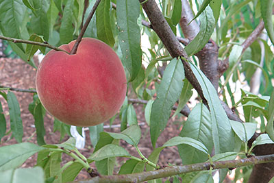 Juicy Organic Peach Grown in Backyard Orchard