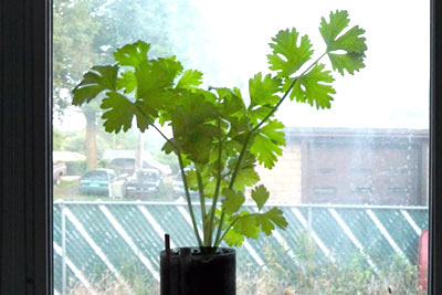 Parsley Growing Indoors in Sunny Window