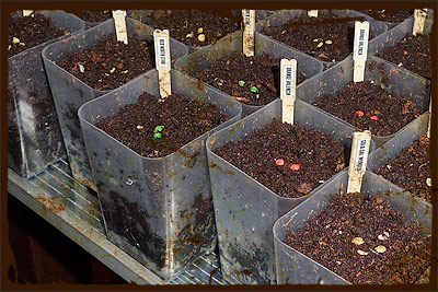 SEEDS - Pepper Seedlings