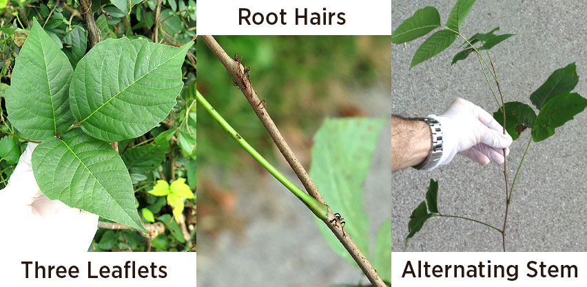 Poison Ivy Identification Tips Three Leaves