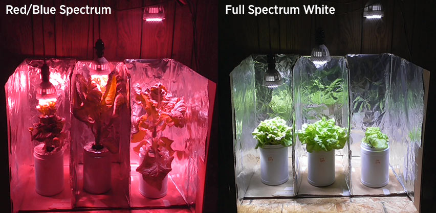 Red & Blue LED vs Full Spectrum White Light: Hydroponic Lettuce