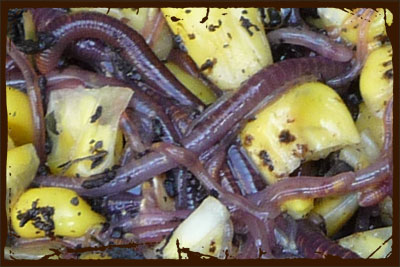 Worms -Red Wigglers Making Vermicompost