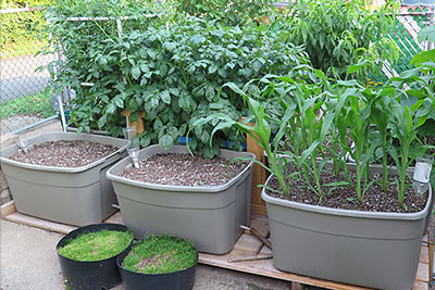 Self Watering Container Garden With Corn Seedlings