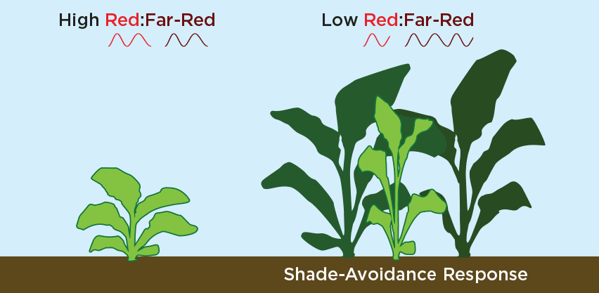 Shade Avoidance Response Caused by Decreased Red to Far-Red Ratio