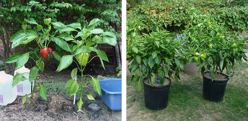 Year One Peppers - In-ground vs Container Grown