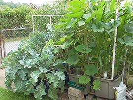 Gardening in self-watering tote containers: Broccoli, Squash, Corn