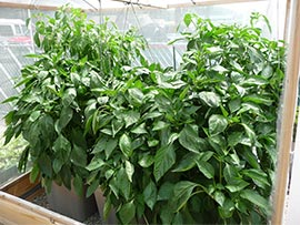 Gardening in self-watering tote containers: Pepper Plants