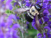 Garden Allies: Carpenter Bee