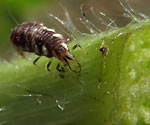 Garden Allies: Green Lacewing Larvae (chrysoperla carnea)