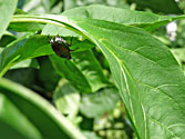 Garden Enemies: Japanese Beetle