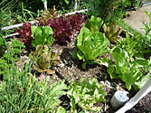 Self-watering Garden - Lettuce under hot Summer sun