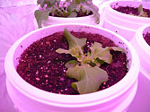 Albo-stein: Young Oak Leaf Lettuce grown with sub-irrigation