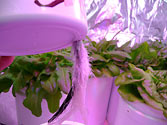 Albo-stein: Mustard - SIP reservoir supports healthy air root growth