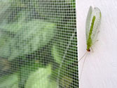 Garden Allies: Green Lacewing (chrysoperla carnea)