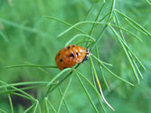 Garden Allies: Lady Bug (pupae)