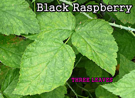 Leaves of Three (but NOT Poison Ivy): Black Raspberry