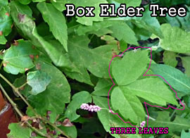 Leaves of Three (but NOT Poison Ivy): Young Box Elder Tree