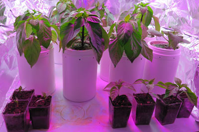Growing Self-watering Pepper Seedlings Indoors LED Lights