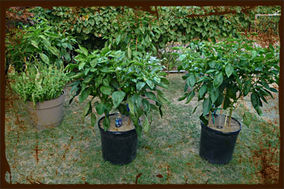 Container Gardening: Large Potted Pepper Plants
