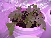 Albo-stein: Young Arugula growing in self-watering planter