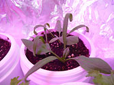 Albo-stein: Young Baby Spinach growing in self-watering planter