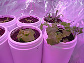 Albo-stein: Indoor self-watering salad garden Day 15b
