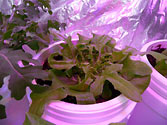 Albo-stein: Sub-irrigated oak leaf lettuce growing well
