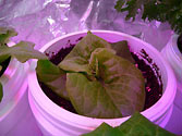 Albo-stein: Butterhead container lettuce watered with sub-irrigation