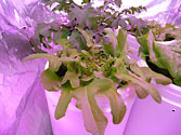 Albo-stein: Oak leaf lettuce growth is unrestricted due to self-watering