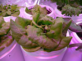 Albo-stein: Butterhead container lettuce a perfect candidate for SIP planters