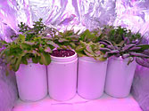 Albo-stein: Indoor SIP salad garden showing extreme growth Day 29