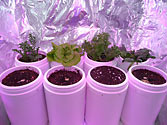 Albo-stein: Day 29 - Remaining SIP containers after harvest