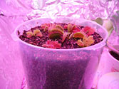Venus Fly Traps grown in SIP CD / DVD Cases using sub-irrigation