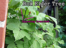 Box Elder Tree: Opposing Branches