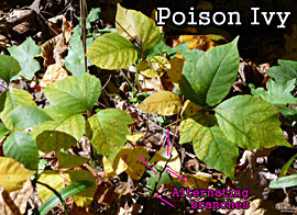 Poison Ivy: Alternating Branches