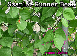 Leaves of Three (but NOT Poison Ivy): Scarlet Runner Bean